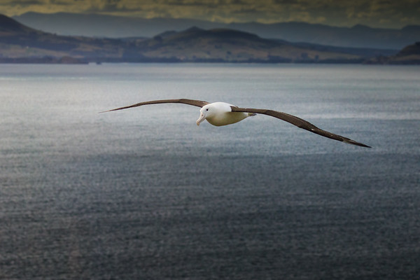 Royal Albatross Returning to Land