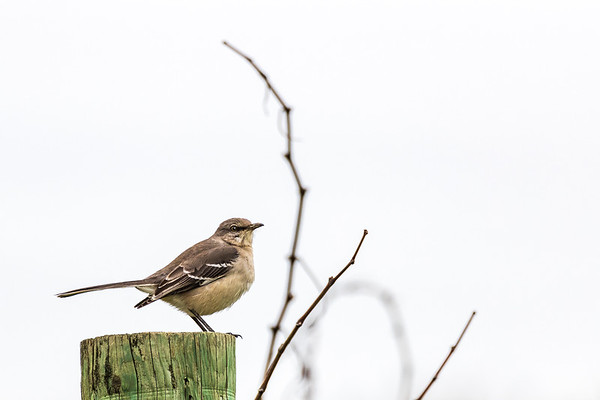 Northern Mockingbird looking for lunch in the Cuvaison Estate vineyards.