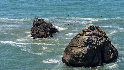 Brown Pelicans (Pelecanus occidentalis) at  Mori Point