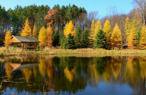Tamarack's glistening on the lake