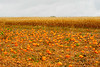 Pumpkin Patch with cornstalks