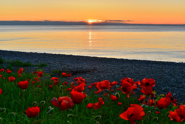 Poppies and sunrise on Dyer Bay