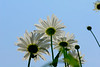 Three daisies in the sky