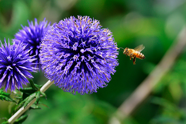 Bee in the air by purple flower for Henrys