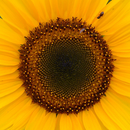 Centre of Sunflower