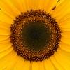 Centre of Sunflower
