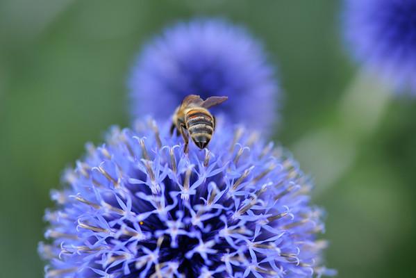 Bee and three purple flowers