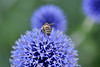 Bee and three purple flowers