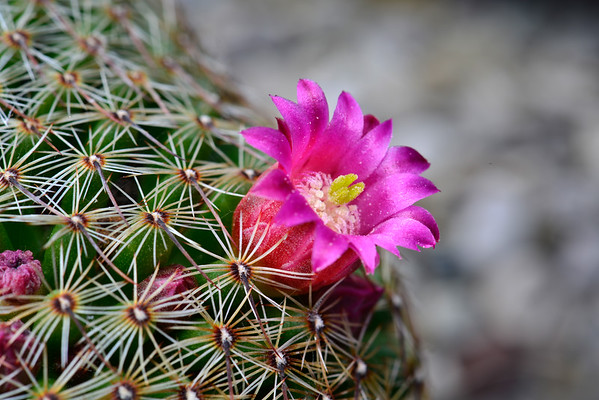 Flower of a cactus