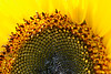 Inside a Sunflower