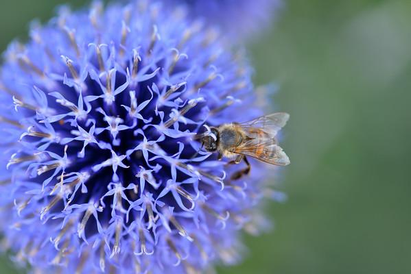 Bee getting pollen from purple flower