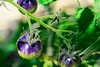 Colorful Tomatoes on a vine