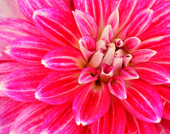 Pink flower in close