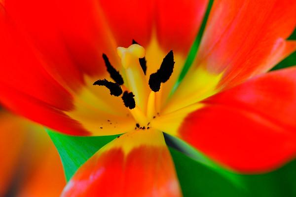 Tulip inside