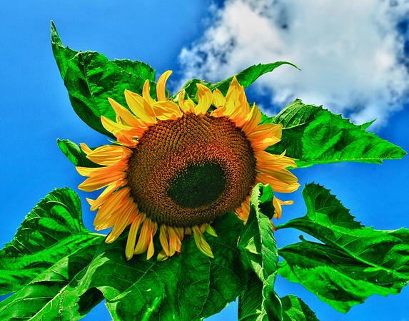 Big Sunflower in garden