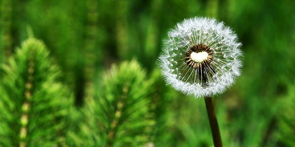 Heart felt dandelion