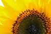 HalfCircle of Sunflower