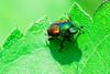 Copper beetle