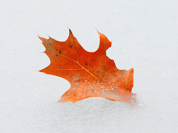 Oak Leaf in Pond