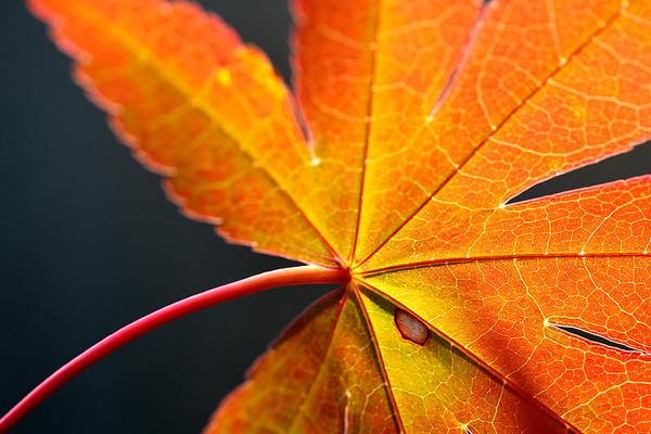 Textured Maple Leaf