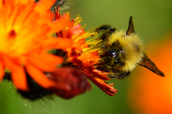Bee with Pollen up close