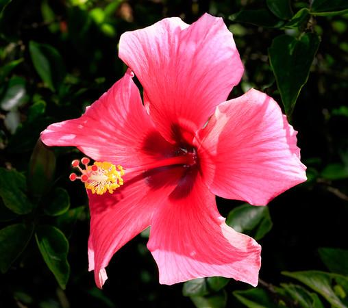Red Hibiscus -  Hibiscus rosa-sinensis