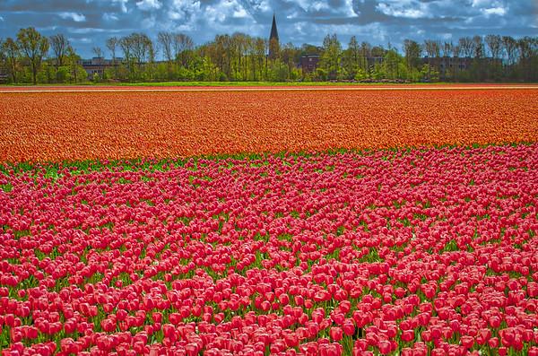 Sassenhein behind tulip fields