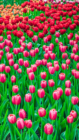 Tulips and more Tulips