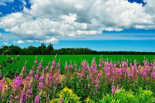 Cover Photo - Summer Wildflowers in PEI