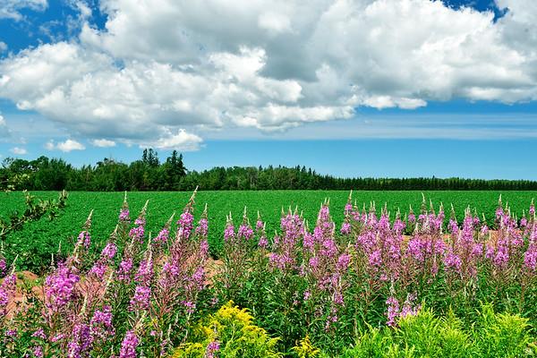 Wildflowers in PEI