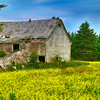 Old Barn in Canola Field HDR
