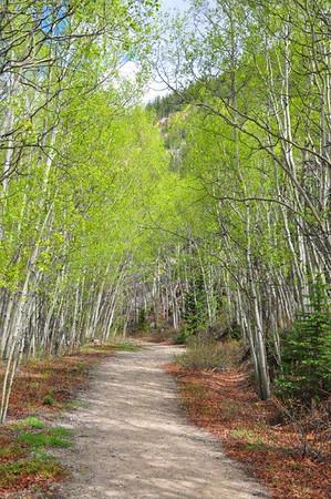 Aspens along trail in Colorado