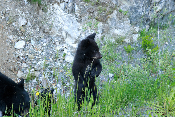 Ran into a wild bear family, a mother and two cubs, driving in Vancouver. <br /> It was tough to get a decent shot from the car.