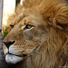 A lion from Los Angeles zoo