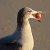 Heermann's gull got a rubber ball!