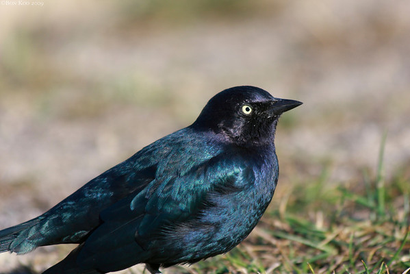 I don't know much about birds, but I believe this a male Brewer's Blackbird