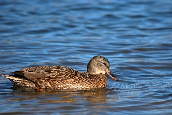 A duck at big bear lake, California