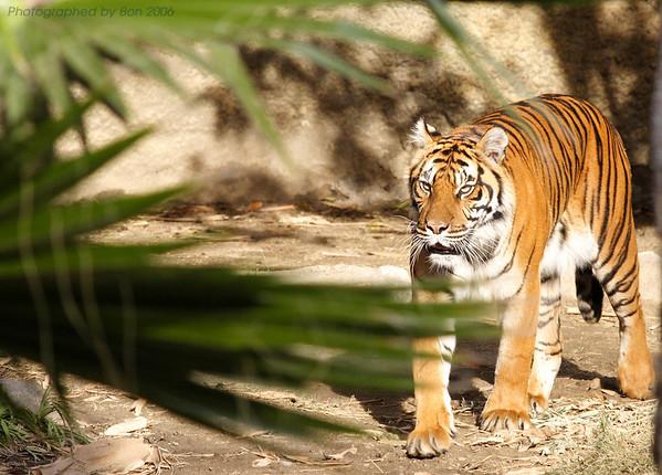 a tiger at LA zoo