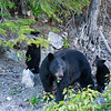 Ran into a wild bear family, a mother and two cubs, driving in Vancouver. <br /> It was tough to get a decent shot from the car and no time to fiddle with settings. :)