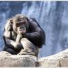 Chimp!