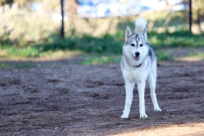younger Siberian husky