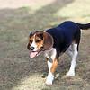 Young Beagle