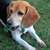 A beagle tearing apart a tennis ball