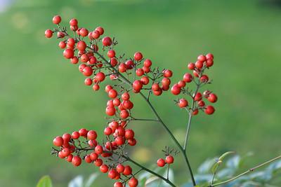 Berries of Sacred bamboo