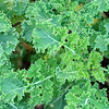 Kale in the backyard planter