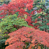full of beautiful fall colors at Japanese Garden, Seattle Washington
