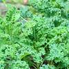 Kale in the backyard planter