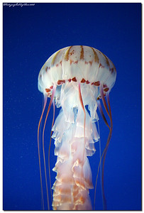 Jellyfish, long beach, aquarium