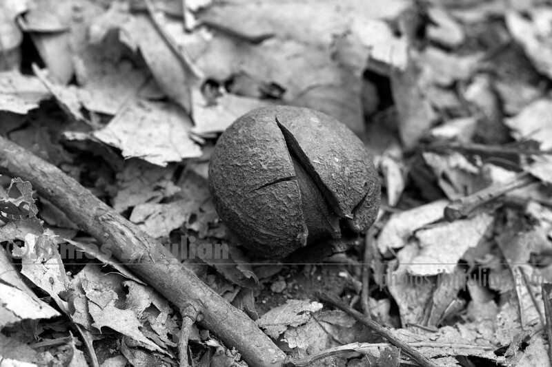 Cracked Nut BW