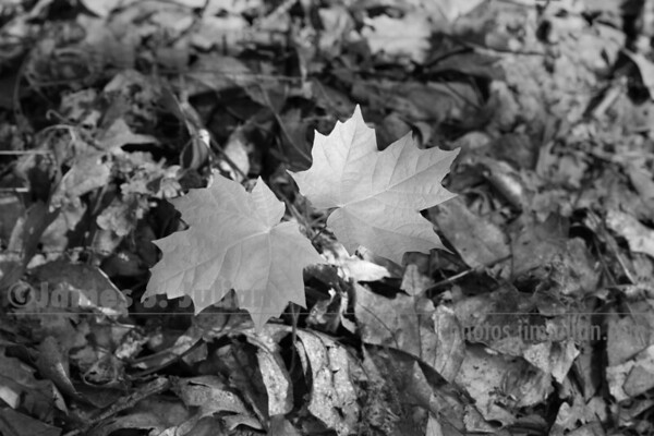 Two-leafed Tree BW